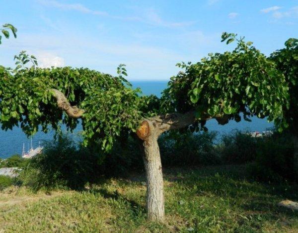 Шелковица дерево как сажать 99