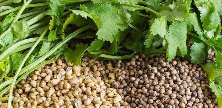 кориандр - растение и семена