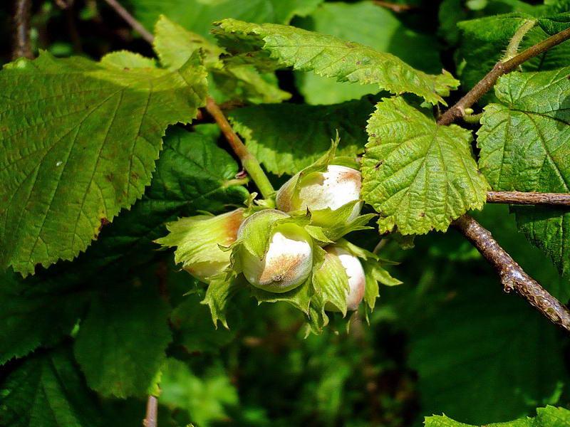 как растет лесной орех