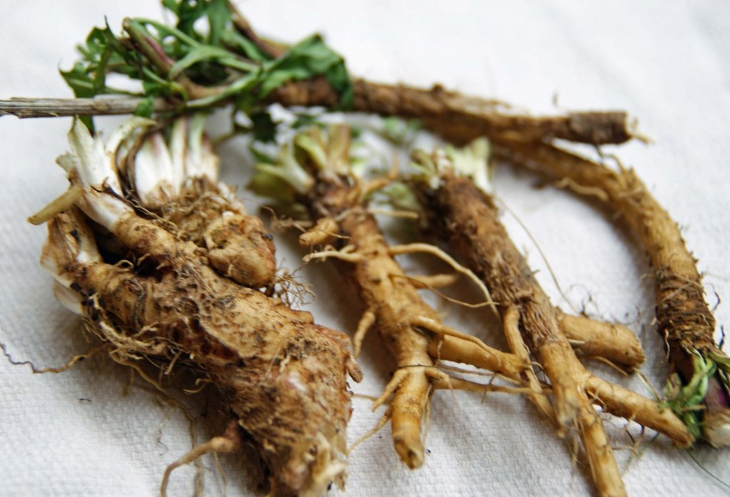 цикория корень фото