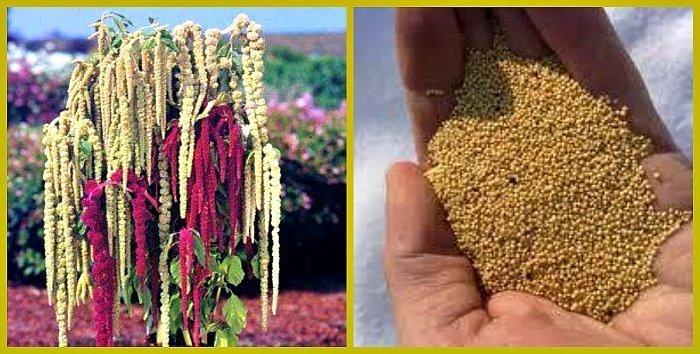 семена амаранта свойства